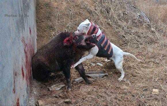 三只杜高犬大战一头野猪:结果令人惊呆 杜高犬,战斗力非常强的狗!
