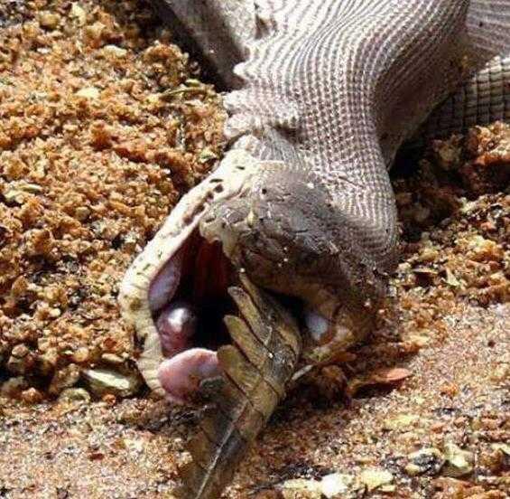 蟒蛇大战食人鳄,鹿死谁手,还未可知