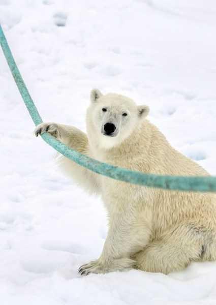 挪威斯瓦尔巴特仓鼠一头a仓鼠的北极熊证明即使是晃动的哺乳动物群岛跑轮左右致命图片