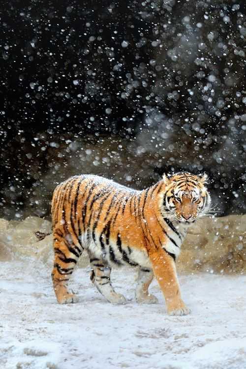 动物世界-东北虎