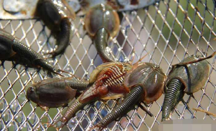鲎虫_据段冶介绍,佳朋鲎虫最早出现在距今约2亿年前,通常是生活在海洋里