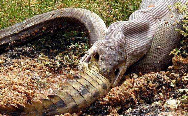 据野生动物专家考证 ,此蛇有一百多年了,一般这样的大蛇,都会有洞穴