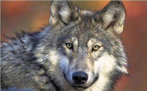 母狼感谢猎人不杀之恩,晚上独战群狼,下跪求死,只求换