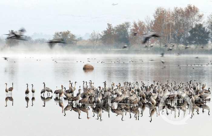 12月7日,候鸟在以色列北部的胡拉谷地休憩.