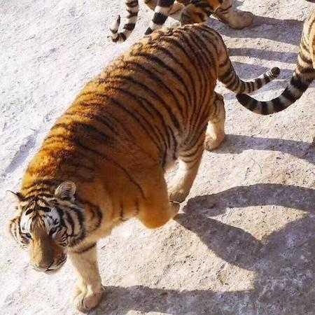 社会 文章详情  东北虎林园为世界最大的东北虎人工