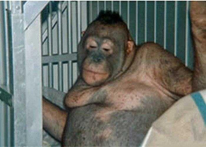 拨性奴的屄?_猩猩居然被剃光浑身毛发,究竟他们对猩猩做了什么,竟然逼着警察拿ak47