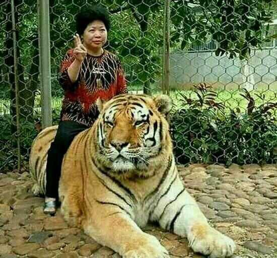 同时也不要背对老虎,猫科动物最喜欢从背后进攻猎物