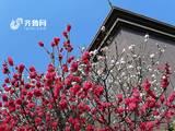 青岛一株碧桃 竟然开出罕见双色花